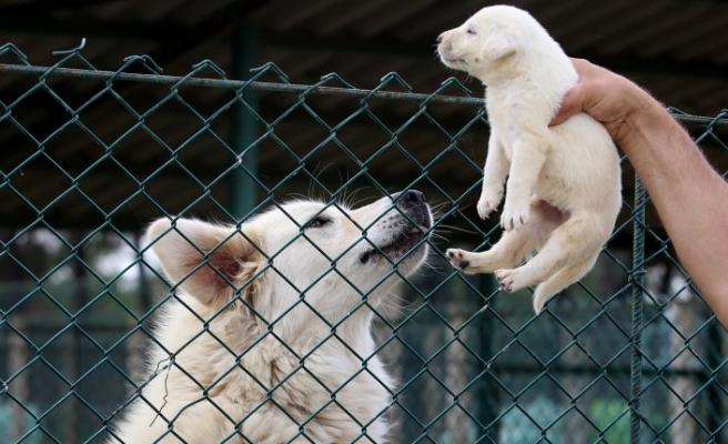 Akbaş köpeklerin yavrularıyla duygusal buluşması