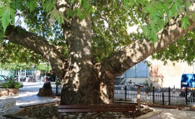 25 metrelik çınar, 549 yaşında
