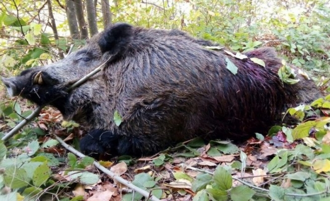Bursa'da avcılar 316 kiloluk yaban domuzu vurdular