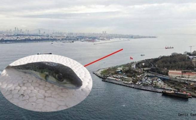 Bursa Gemlik açıklarında balıkçılar balon balığı yakaladı!