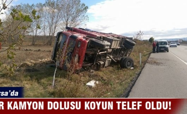 Bursa'da kamyon dolusu koyun telef oldu