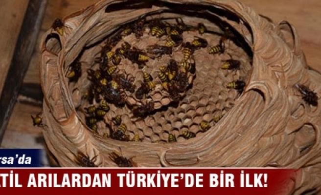 Bursa'nın katil arılarından Türkiye'de bir ilk