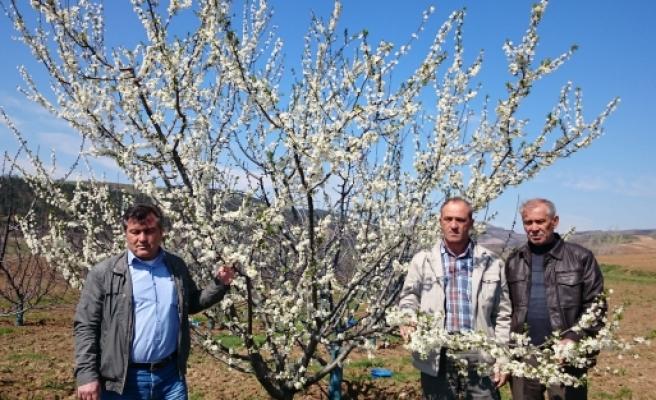 Bursa'da meyve ağaçlarını don vurdu