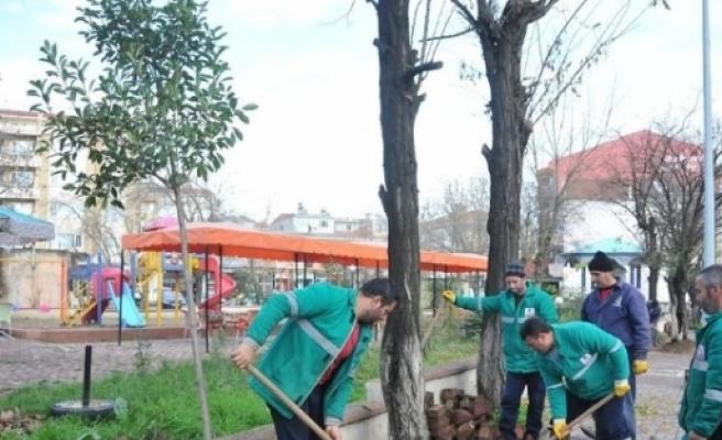 Çan Belediyesi İlçe Merkezinde Ağaçlarda Gençleştirme Yapıyor