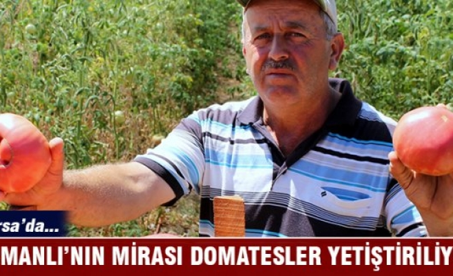 Osmanlı'nın ilk payitahtında Osmanlı domatesi yetiştiriyorlar
