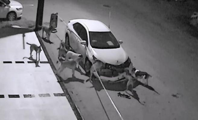 Sokak köpekleri otomobili parçaladı