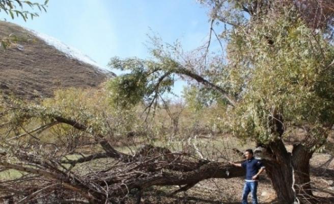 Yağışlar Asırlık Çeviz Ağaçlarını Vurdu