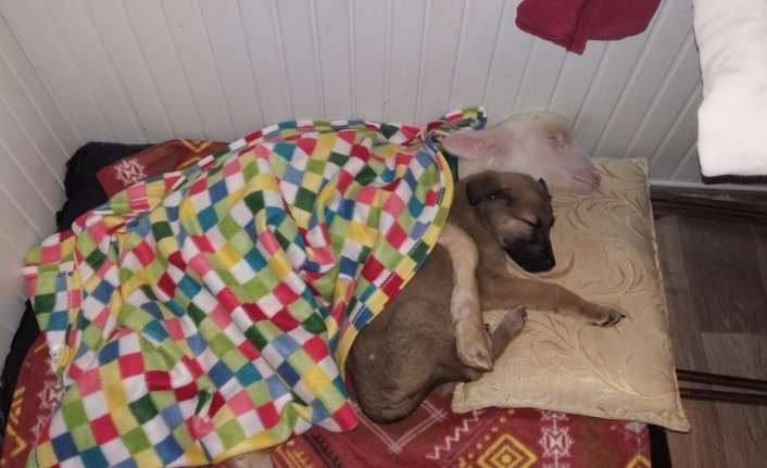 Bu fotoğraf Bursa'dan! Köpek ile kuzu kucak kucağa uyuyor