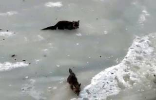 4 tilki, 2 köpek ve 1 kedi
