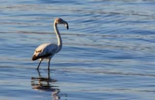 İznik gölünde ilk kez görüldü