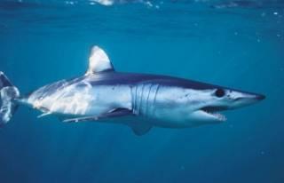 Gökova Körfezi'nde görülen köpekbalığını...
