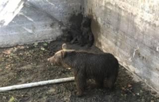 Bursa'da ayı ailesine kurtarma operasyonu
