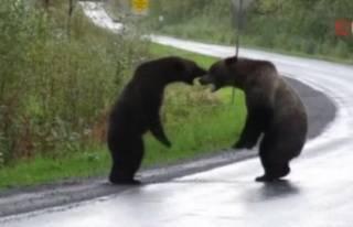 Yol ortasında 'ayı kavgası'