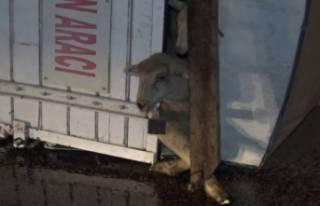 Bursa'da kamyon devrildi: 8 kuzu telef oldu
