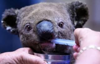 Ölmek üzere olan koala son anda kurtuldu