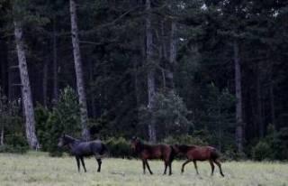 Bursa'da yabani atlardan sucuk mu yapılıyor?