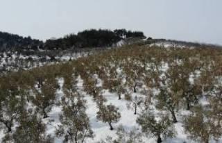 Bursa'da zeytin ağaçları yanan köylüler...