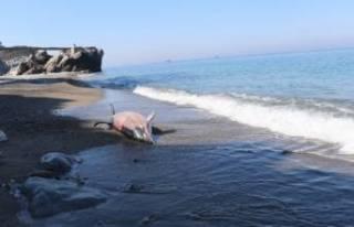 Zonguldak'ta ölü yunus kıyıya vurdu!