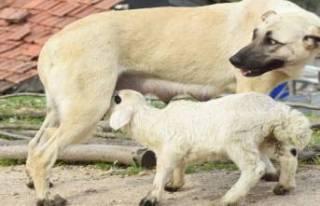 Bursa'da çoban köpeği, kuzuya süt annelik...