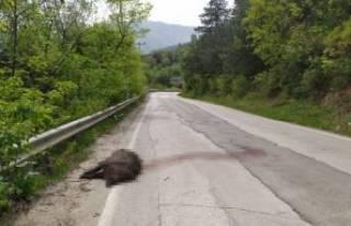 Bursa Uludağ yolunda devasa domuz şok etti