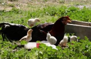 Onların anneleri bir horoz! Tavuk yerine kuluçkaya...