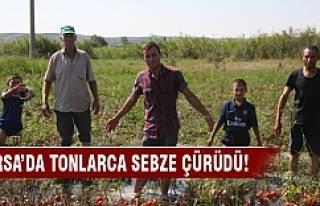 Bursa'da farika yüzünden tonlarca sebze çürüdü!
