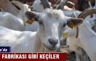 Bursa'da süt fabrikası gibi keçiler