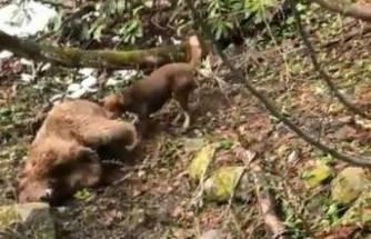 Vurduğu ayıyı köpeklere parçalatmıştı! Serbest bırakıldı
