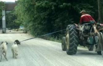 Yine aynı vicdansızlık! İki köpeğini traktöre bağlayıp...