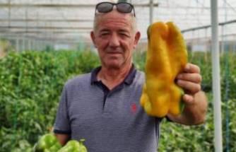 Bursa'da 1 kilo ağırlığındaki dev dolmalık biberlerine alıcı bulamıyor