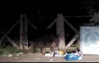 Bursa Uludağ'da aç kalan ayı çöpleri karıştırırken görüntülendi