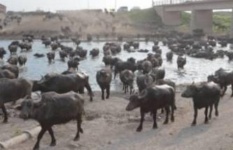 Dicle Nehrinde binlerce ölü balık kıyıya vurdu